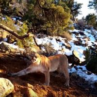 Cougar Release-min